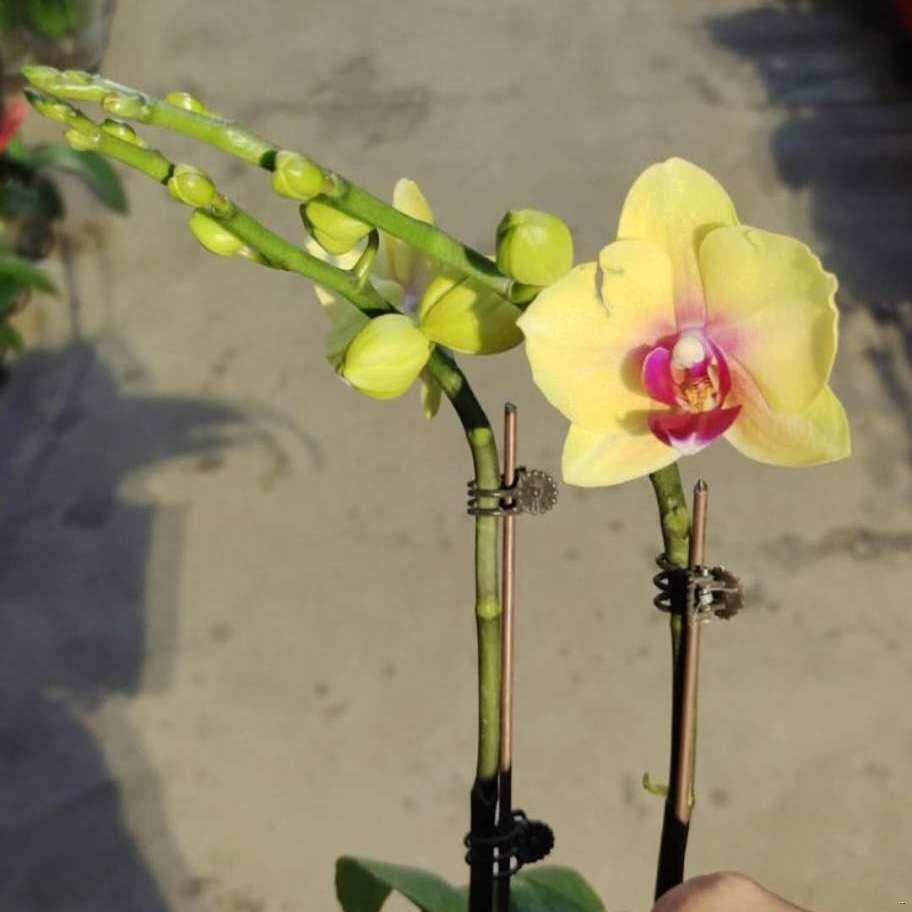 ต้นกล้ากล้วยไม้หอมฝันหอมออนซิเดียม ด้วยดอกตูมกล้วยไม้น้ำหอมลีลาวดีพร้อมกระถางแคทลียาฟาแลนนอปซิส