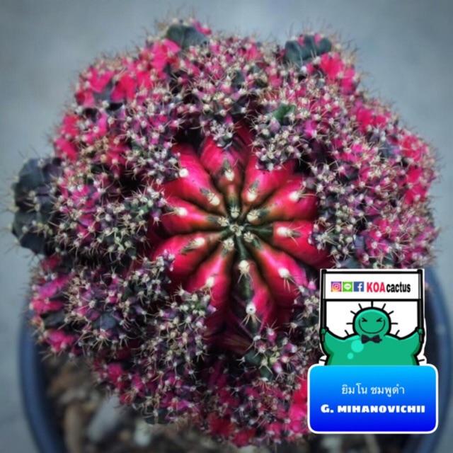 แคคตัส ยิมโน.ชมพูดำ gymnocalycium mihanovichii cactus ไม้กราฟ จำนวน 1 ต้น