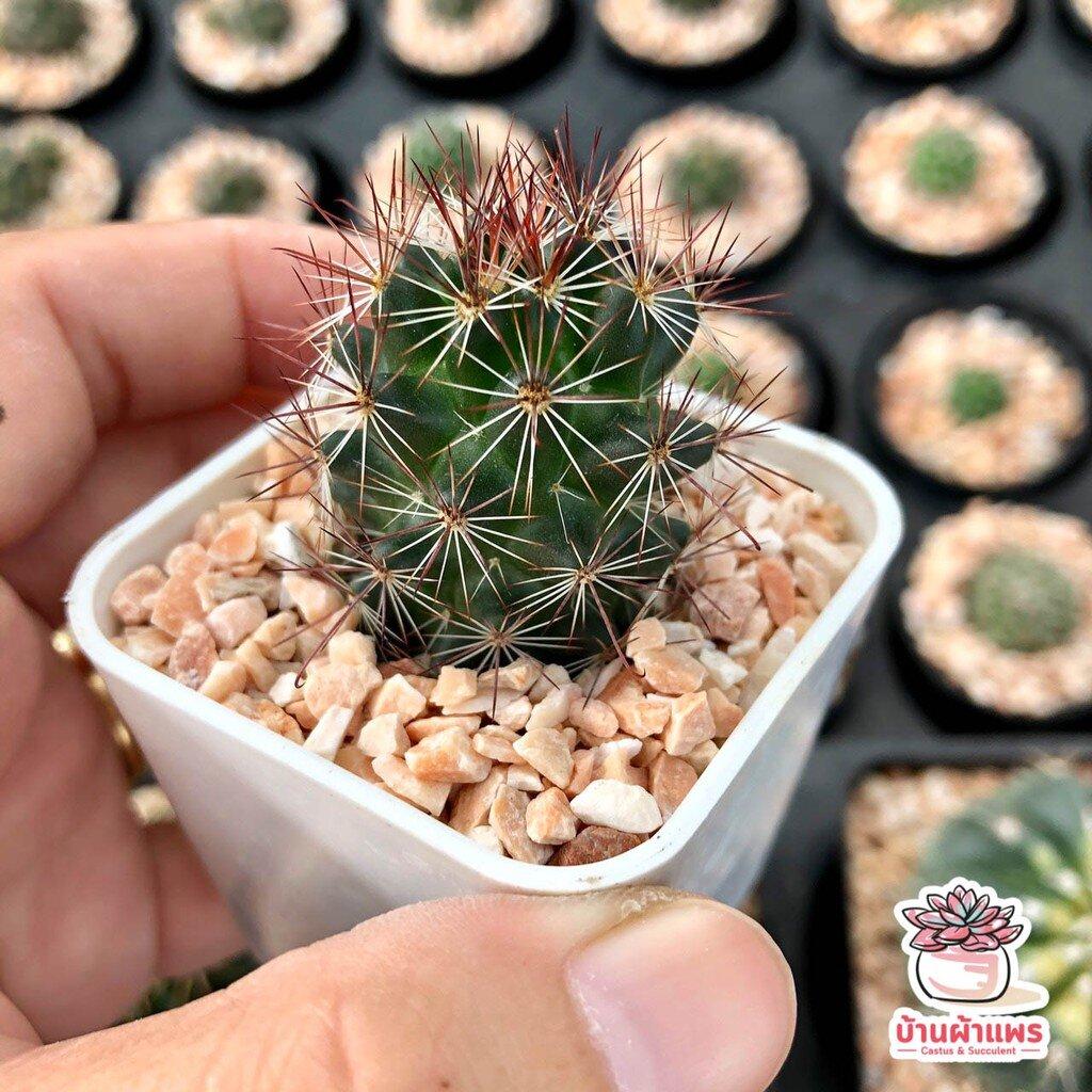 แมมหนามตะขอ Mammillaria Beneckei แคคตัส กระบองเพชร cactus&succulent