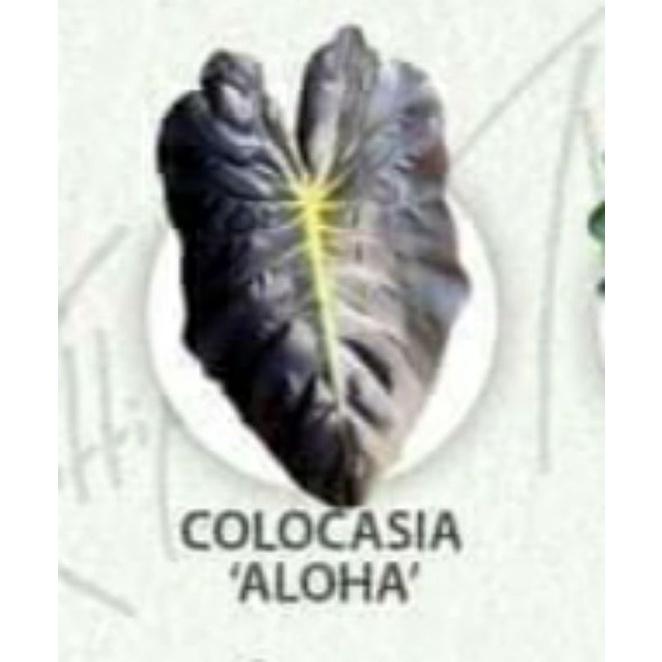 Colocasia esculenta Aloha / บอนอโลฮ่า