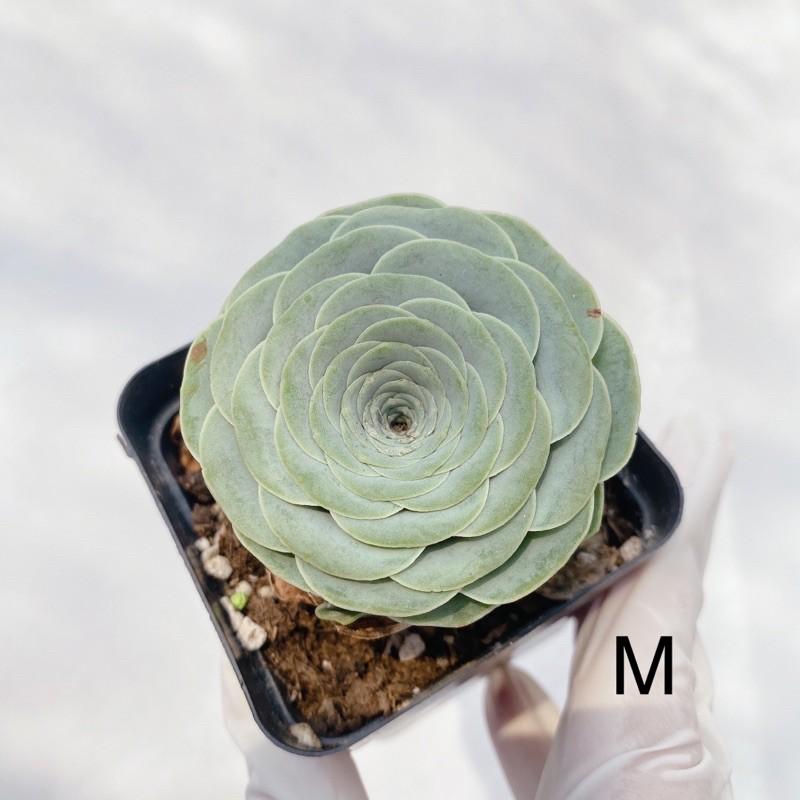 ( ไม้เข้าใหม่ ) กุหลาบหิน ไม้อวบน้ำ Succulent Greenovia