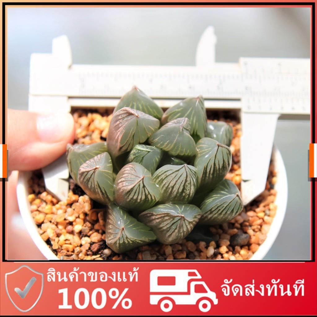 ยิมโนด่าง แคคตัส กระบองเพชร Haworthia Kyoshinhei G Succulents กุหลาบหินนำเข้า ไม้อวบน้ำ