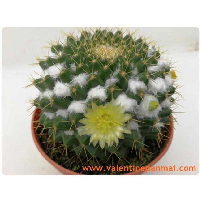 M028.Mammillaria marksiana กระบองเพชร แคคตัส Cactus พืชอวบน้ำ