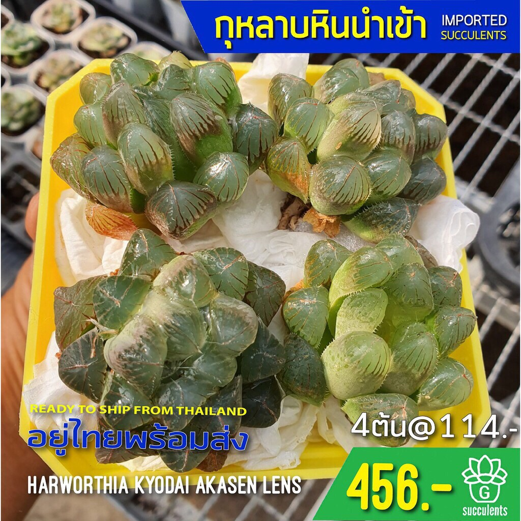 New Arrival สินค้าใหม่ พึ่งนำเข้า Haworthia Kyodai Akasen Lens Succulents 2U กุหลาบหินนำเข้า ไม้อวบน้ำ