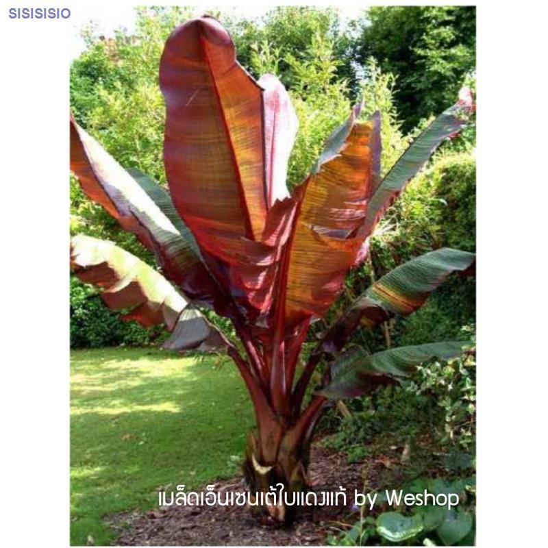 ♕เมล็ดกล้วยMusa_Enseteใบแดงแท้/ventricosum'Maurelii/Abyssinianbananaพร้อมส่ง