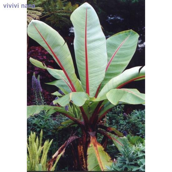 ∋◄▫เมล็ดกล้วยเอนเซเต้พร้อมส่ง กล้วยเอธิโอเปีย กล้วยอะบิสซีเนียEnsete Ventricosum/Ethiopian,/Abyssinian banana ราคาต่อเมล