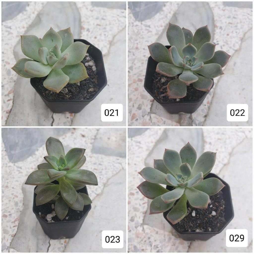 กุหลาบหิน ไม้อวบน้ำ Succulent น่ารักๆ