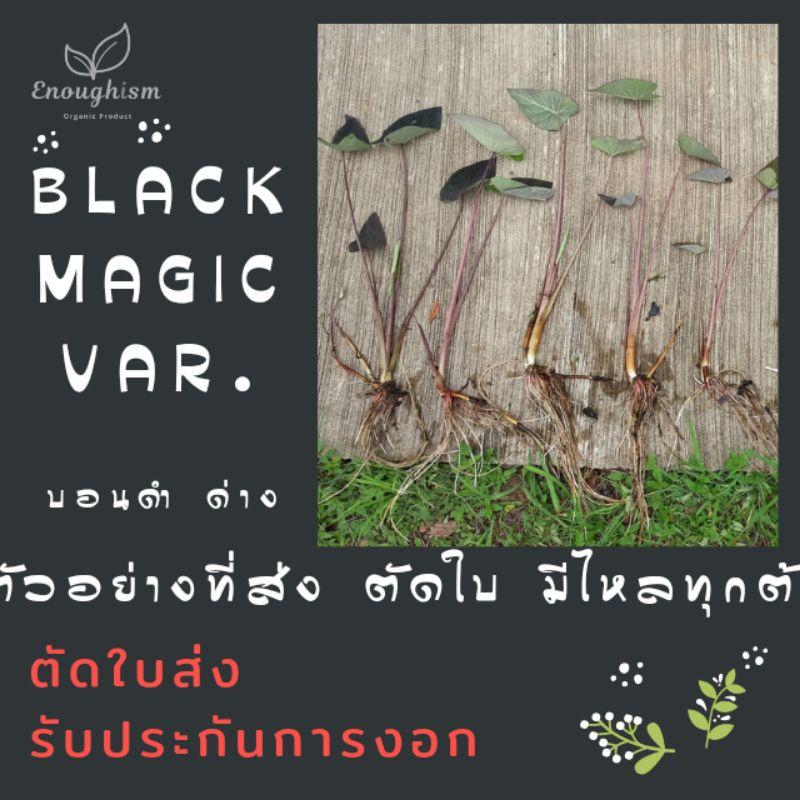 <3 ต้น บอนดำแบลคเมจิค>  บอนดำด่าง แบลคเมจิคด่าง ตัดสด ส่งตัดใบ colocasia esculenta black magic variegated