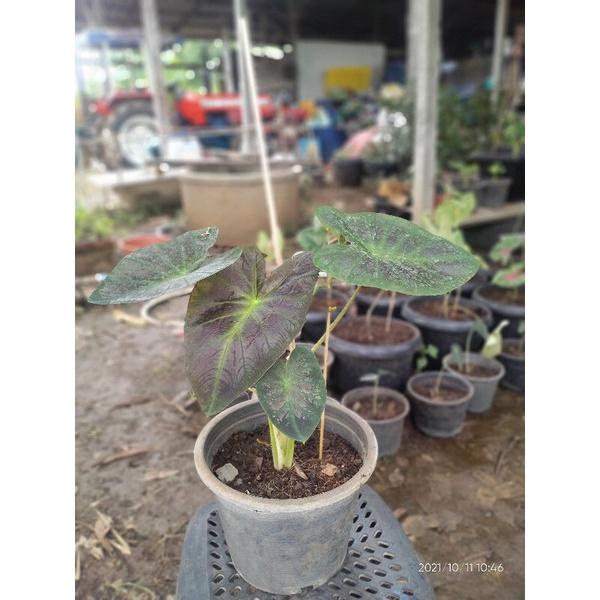 colocasia aloha โคโลคาเซีย อโลฮ่า บอนอโลฮ่า