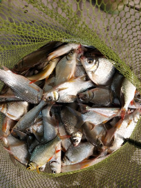 รำคั่ว รำละเอียด รำตกปลา รำคั่วห้อมหอม สำหรับตกปลาหนังและปลาเกล็ด