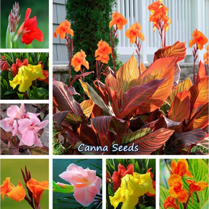 ประเทศไทย พร้อมสต็อก ปลูกง่าย พุทธรักษา Canna Seeds บรรจุ 10 ดอกไม้จริง ต้นบอนสีทุกสี บอนสีสวยๆ บอนสีชายชล บอนสี