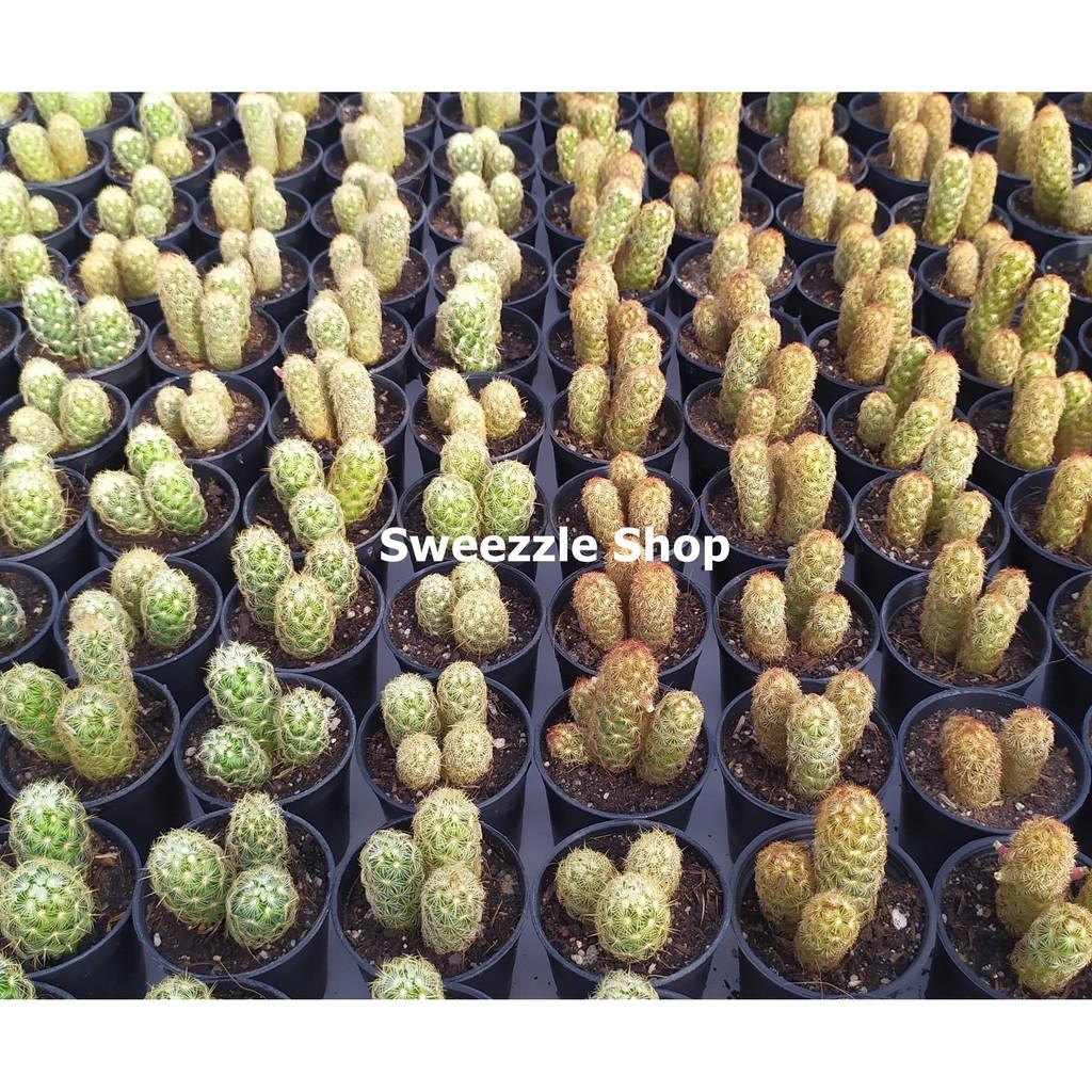 กระบองเพชร แคคตัส (Cactus) แมมนิ้วทอง นิ้วนาค (mammillaria elongata) จัดส่งทั้งกระถาง