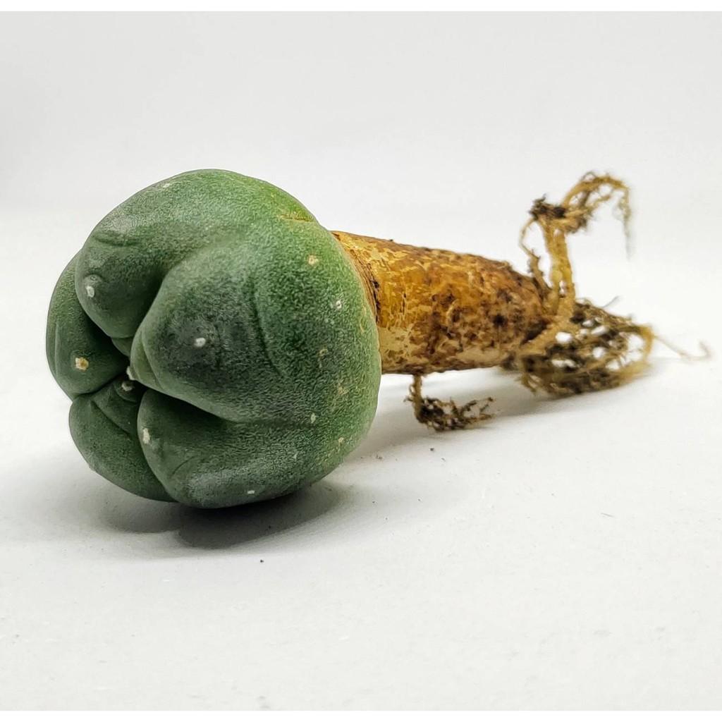 โลโฟ (Lophophora) ขนาดประมาณ 3-4 เซนติเมตร #cactus #แคตตัส #กระบองเพชร #ไม้อวบน้ำ