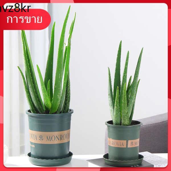 Succulents เมล็ด กุหลาบหิน ✧ว่านหางจระเข้พืชอวบน้ำ ไม้กระถางไฮโดรโปนิกส์สำนักงาน ฟอร์มาลดีไฮด์ดูดซับและป้องกันรังสีความง