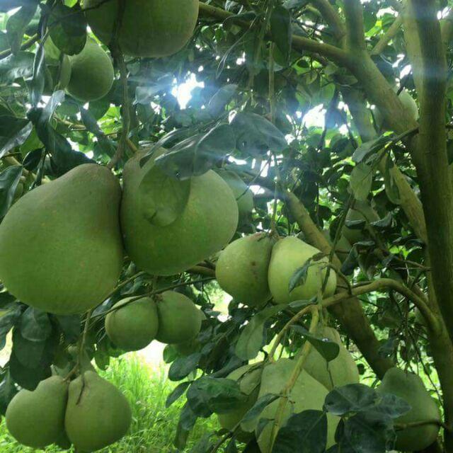 กิ่งพันธุ์ส้มโอทับทิมสยาม