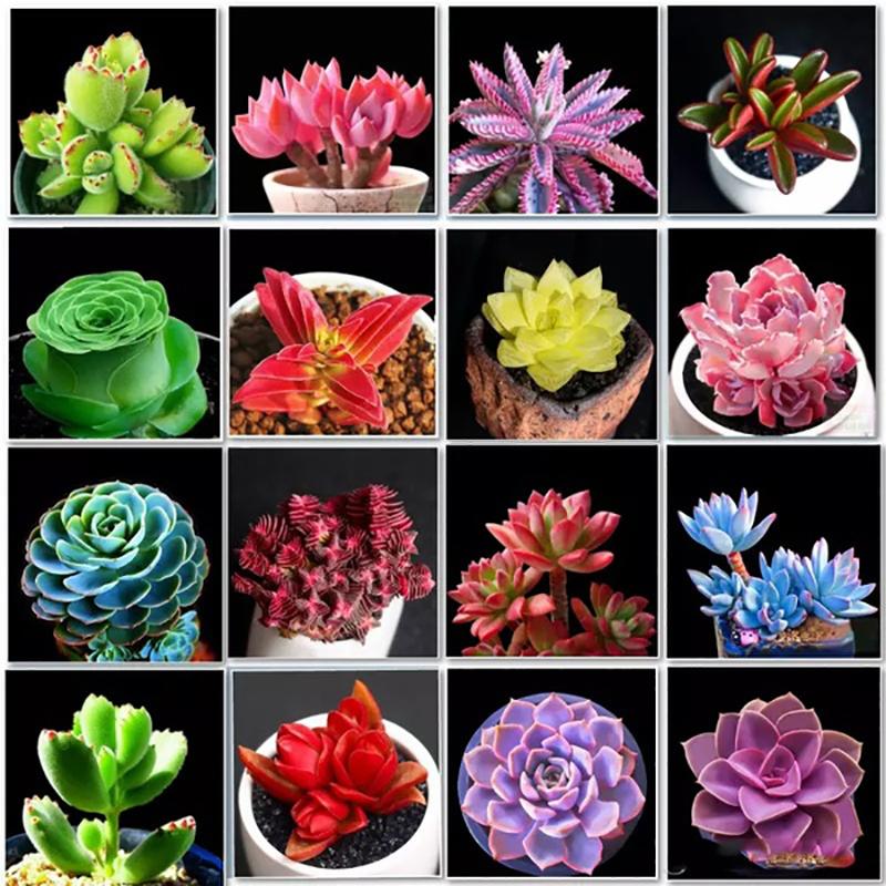 พืชอวบน้ำ เมล็ดพืชอวบน้ำ Succulent Plant Mix Seeds สามารถปลูกได้ทั่วประเทศไทย เมล็ดพันธุ์ plants ต้นไม้ตกแต่ง ไม้ดอก