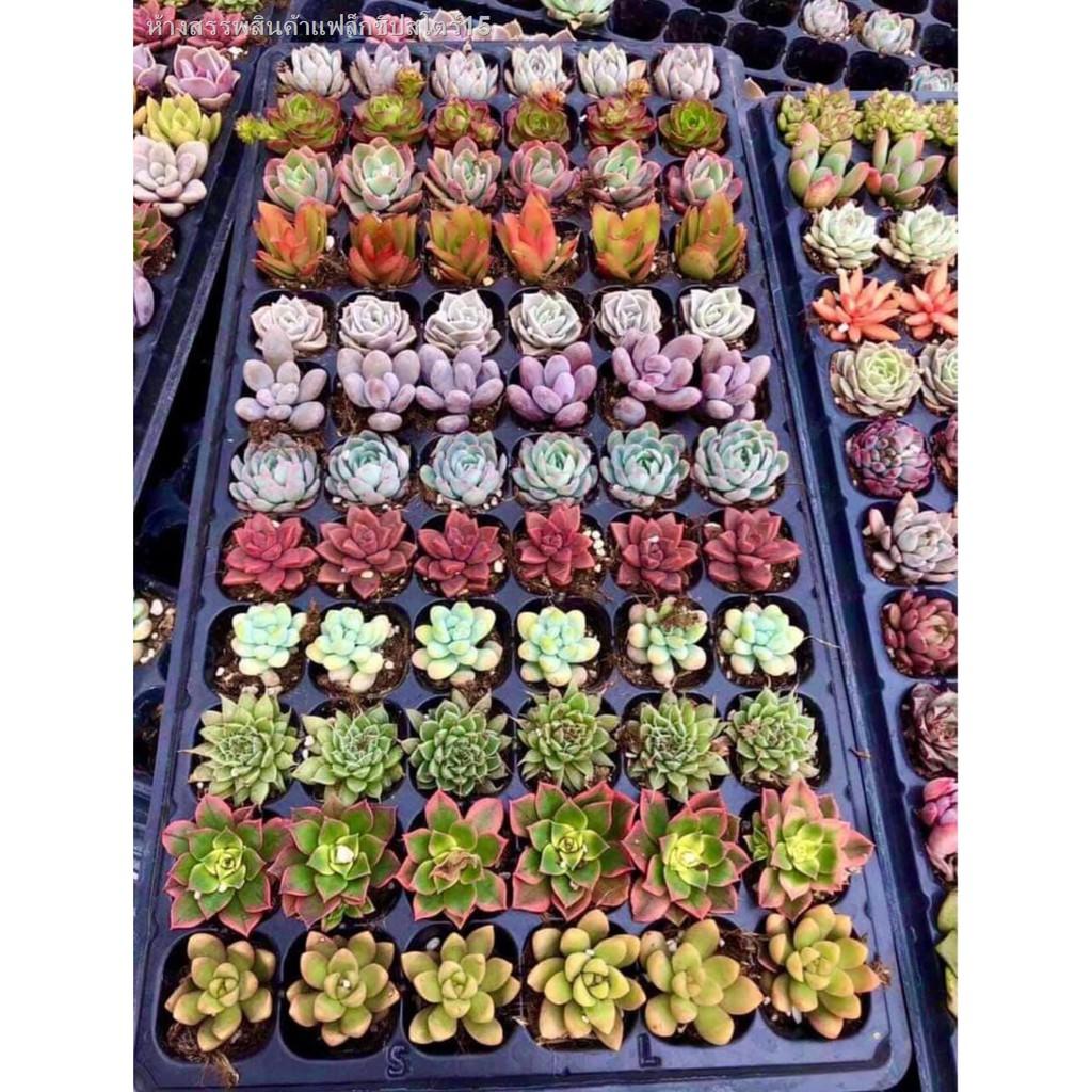 ✨สินค้าขายดีปี2021 คุณคู่ควร😘✘✇✺ไม้อวบน้ำ succulent cactus พืชอวบน้ำ (ไม้นำเข้า) คละสีคละพันธุ์ น่ารักๆ ตั้งโต๊ะทำงาน O