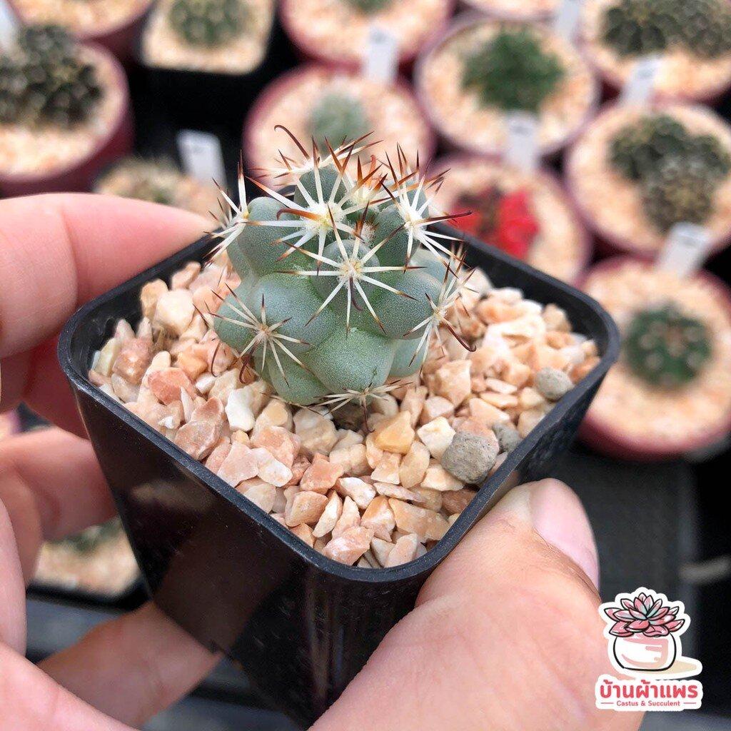 แมมมิลลาเรีย ชูแมนนิไอ Mammillaria Schumannii แคคตัส กระบองเพชร cactus&succulent