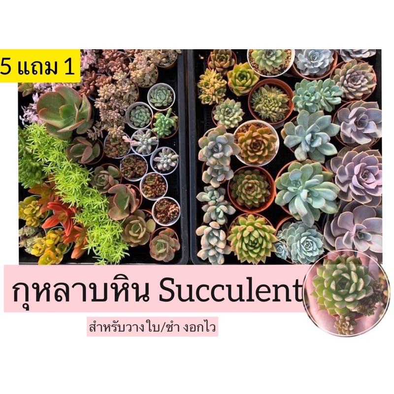 (✅พร้อมส่ง) ใบกุหลาบหิน Succulent วางใบกุหลาบหิน (คละสายพันธุ์) เด็ดสด ไม้อวบน้ำ ราคาถูก