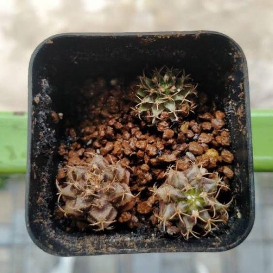 กระบองเพชรยิมโนคาไลเซียม / Cactus Gymnocalycium B08 / แคคตัสยิมโนคาไลเซียม 🌵🌵
