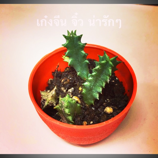 Cactus ไม้อวบน้ำ กระบองเพชร
