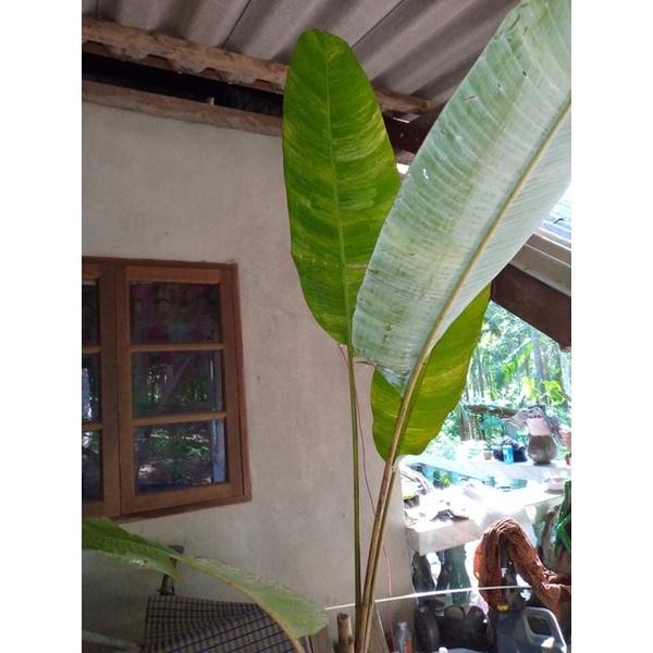 กล้วยป่าด่างลายหินอ่อน