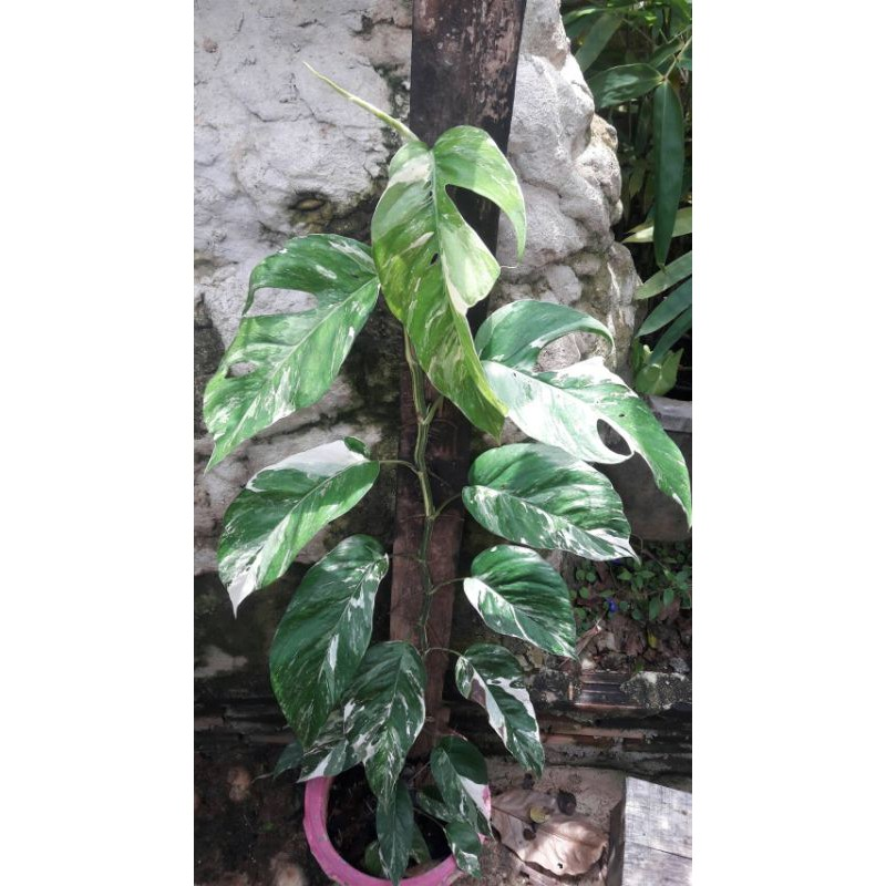 พลูฉีกด่าง / Epipremnum pinnatum variegated