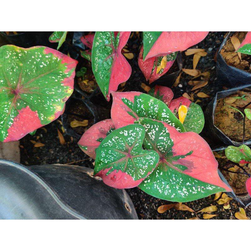บอนนางไหม บอนสีด่างแดง❤️ บอนสี บอนป่า บอนแดง นางไหม บอนหายาก Caladium ชาวสวนมาเอง Qd6F