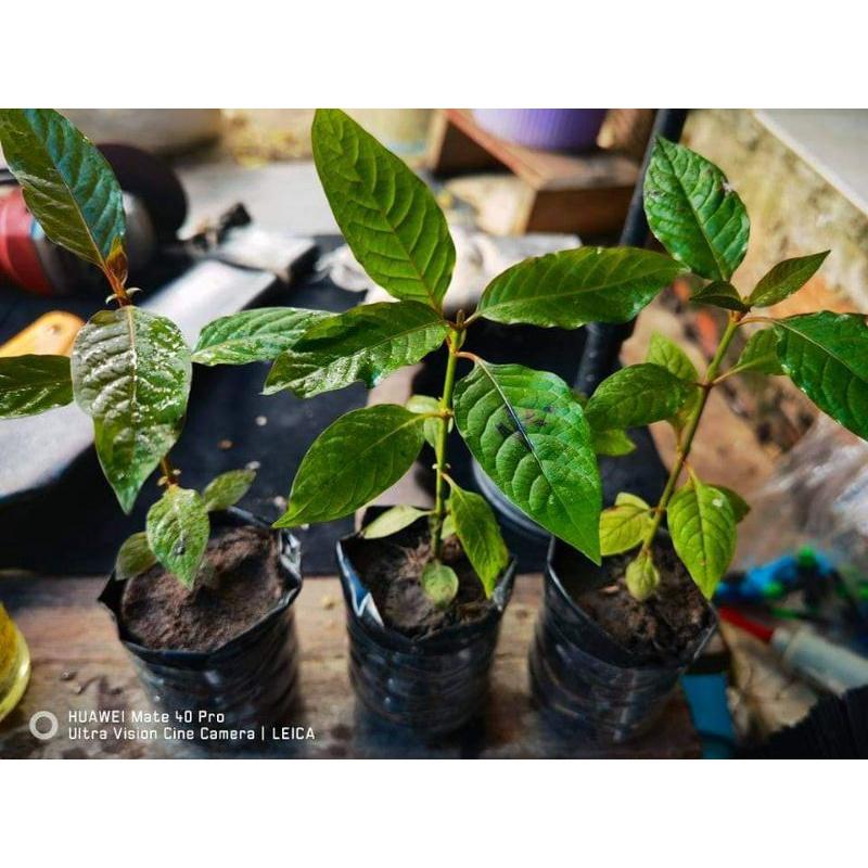 ต้นกระท่อมก้านแดงหางกั้ง/พันธุ์ไทย/ท่อม/ต้นกระท่อม/เมล็ดพันธุ์/ต้นกล้ากระท่อม