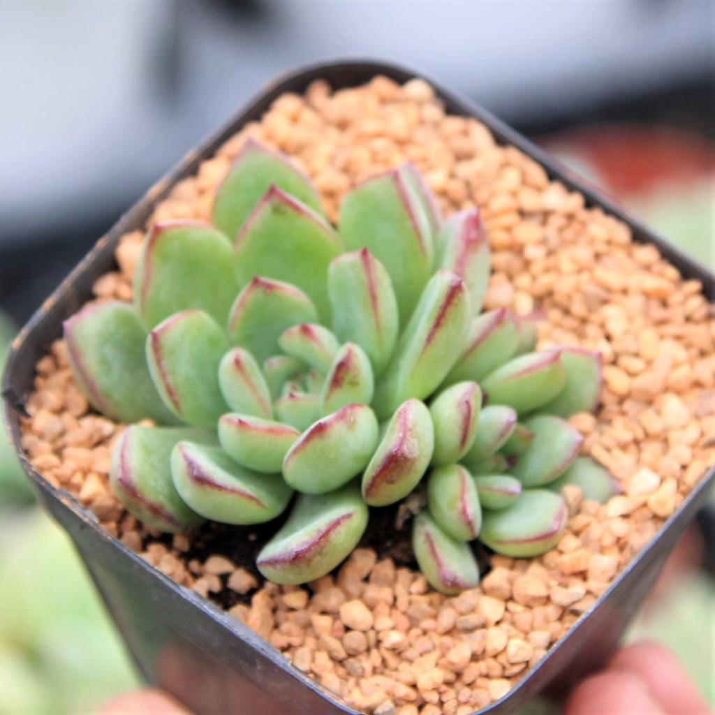 Echeveria Apus Dual Heads กุหลาบหินนำเข้า ไม้อวบน้ำ. Imported Live Succulents plant