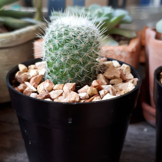 ต้นกระบองเพชร,แคคตัส Mammillaria germinispina Cactus แมมเข็มเงิน  💚