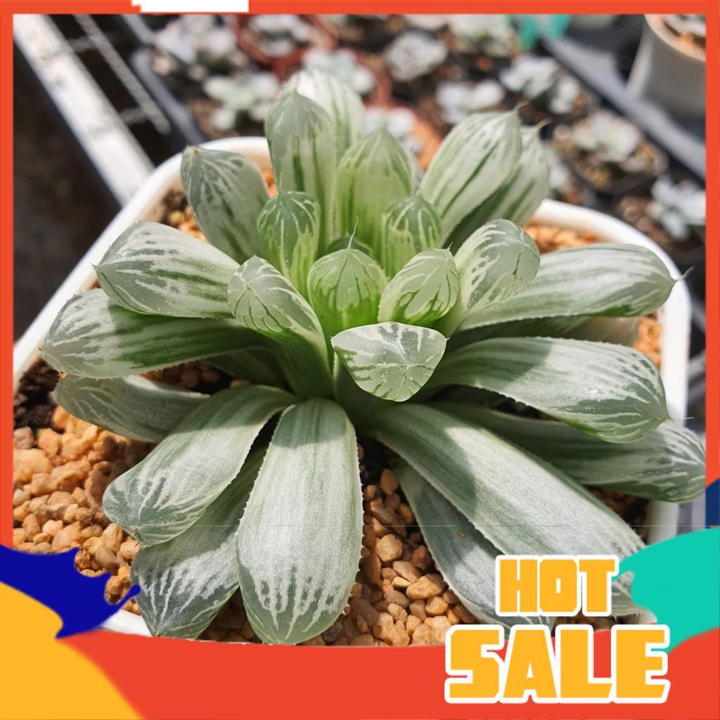 Haworthia Silver Swirl G succulents กุหลาบหินนำเข้า ไม้อวบน้ำ