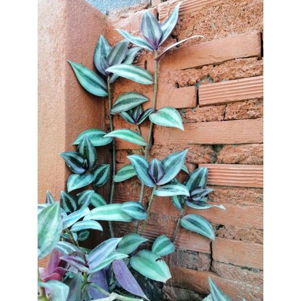 ก้ามปูหลุด ต้นก้ามปูหลุด ไม้ฟอกอากาศ ไม้อวบน้ำ ไม้เลี้ยงง่ายไม้ราคาประหยัด ก้ามปูนำโชค Inch plant Wandering jew