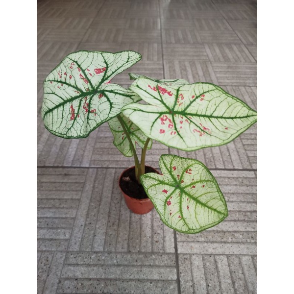บอนสี สตอเบอรี่ สตาร์ (caladium strawberry star)
