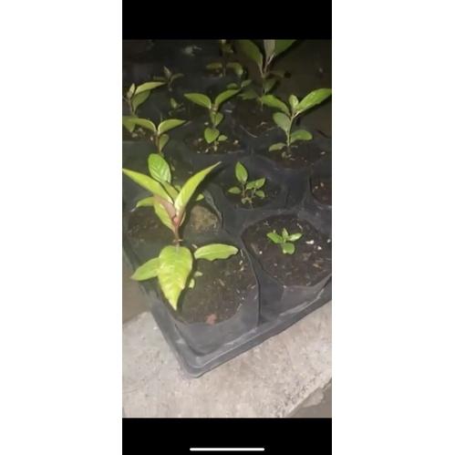 ต้นกระท่อม แตงกวา/หางกั้งหรือพันธุ์ยักษ์/ก้านแดง