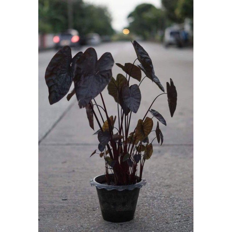 Colocasia Black Ripple แบล็คริปเปิ้ลไซส์มินิ ถึงไซส์กลาง