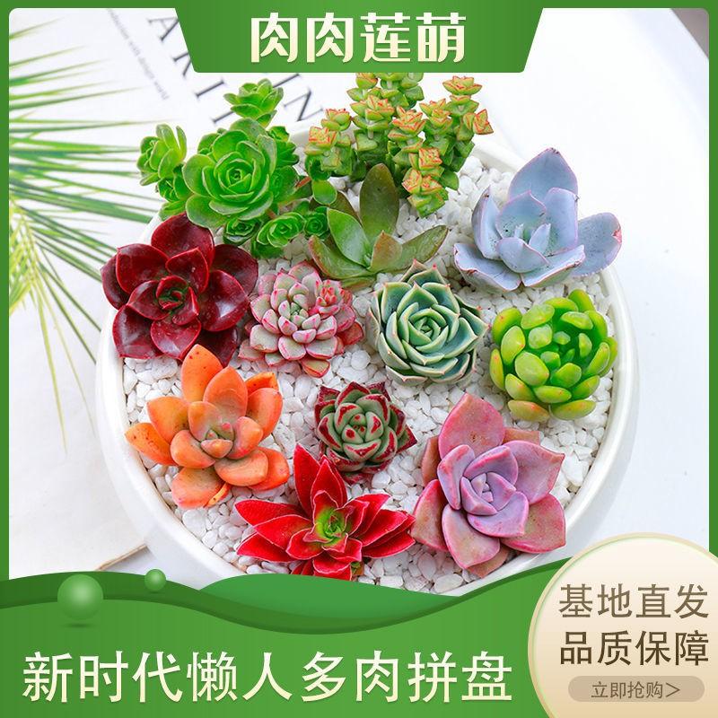 ✢☃♦ไม้อวบน้ำ กลุ่มพืชสีเขียว ดอกไม้ กระถางต้นไม้ เลี้ยงง่าย ฉ่ำในออฟฟิศ ขายส่งถาดอวบน้ำ