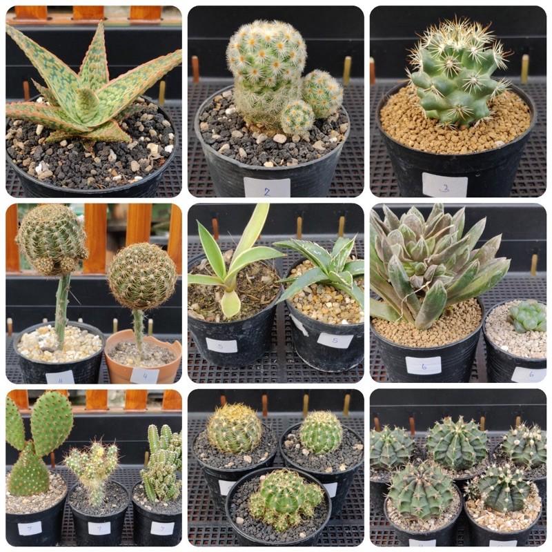 1-5 ต้น 100 บาท: แคคตัส (cactus): อะโล/แมมคามิเน่/แมมชูแมน/โลบิเวีย/อากาเว่/ฮาโวเทีย/หยดน้ำ/โอพันเทีย/ยิมโน