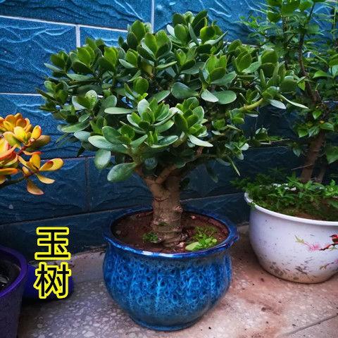 ไม้กระถาง▩Yushu กระถางต้นกล้า, กองเก่า, ใบใหญ่, ดอกยูคาลิปตัส, ต้นไม้, พืชอวบน้ำ, ห้องนั่งเล่นในร่ม, ต้นไม้สีเขียว, ดอก