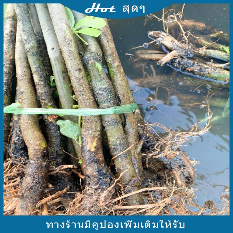 ต้นกระทุ่มนา ตอกระทุ่ม สำหรับเสียบยอดกระท่อมพันธุ์ดี หางกั้ง ก้านแดง หรืออื่นๆพร้อมส่ง