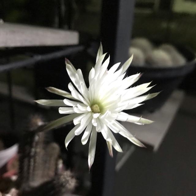 ดินสอดำ #แคตตัส #cactus #cactus-thailand #suwanna-cactus (1ต้น)