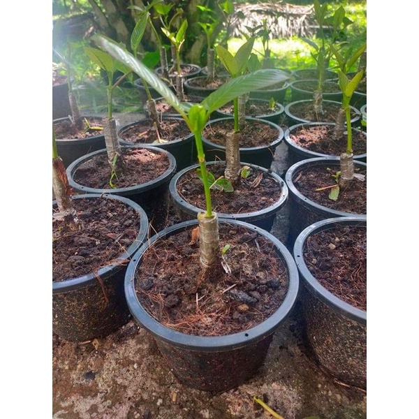 กระท่อม#กระท่อมเสียบยอด#ก้านแดงเสียบยอดต้นกระท่อมขี้หมู #ก้านเขียวเสียบยอด พืชกินใบทนแดด #ก้านแดง #ก้านเขียว(แตงกวา)