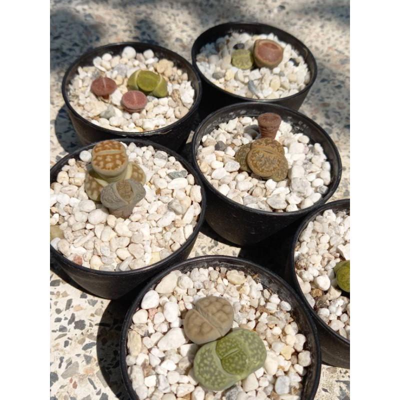 ไลทอป (หินมีชีวิต/ต้นไม้อวบน้ำ)