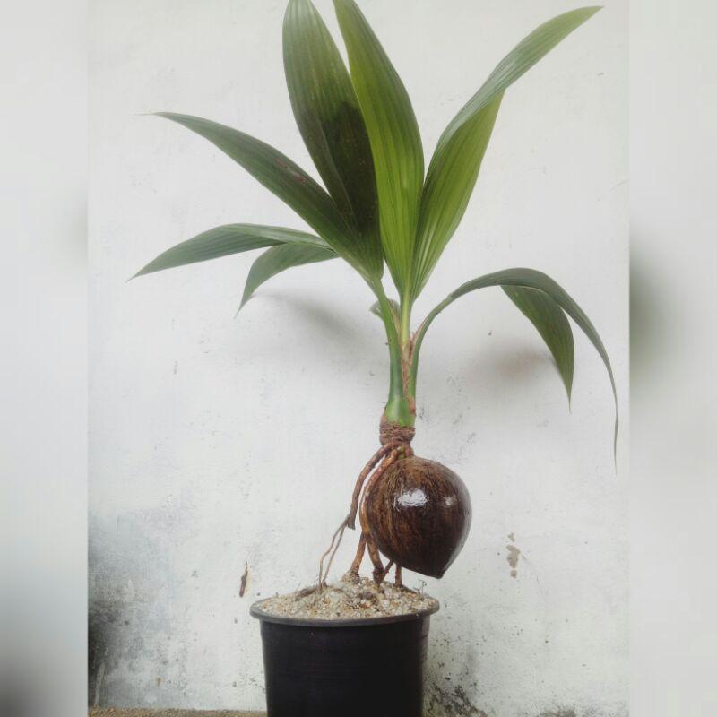 บอนไซต้นมะพร้าว50%ให้ไปเลี้ยงต่อ😯ส่งพร้อมกระถาง