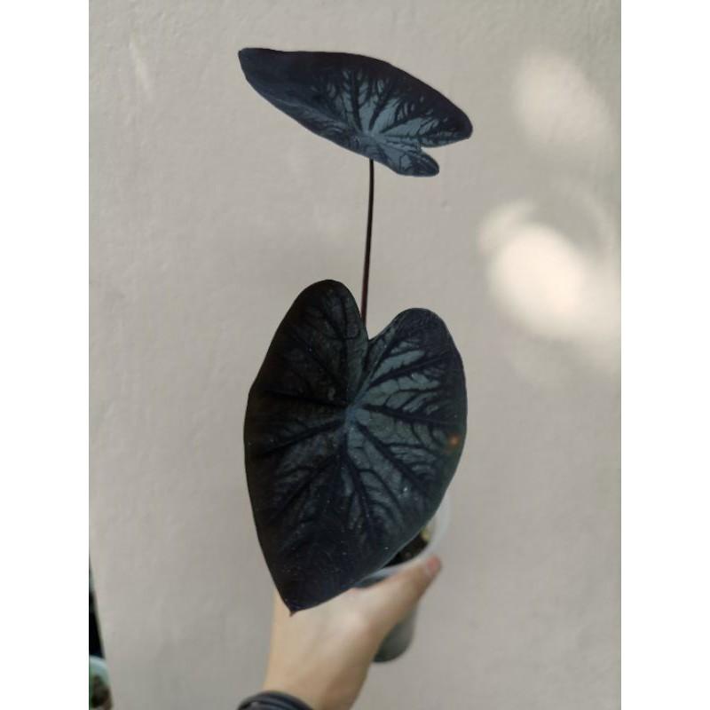 Colocasia Black Ripple แบล็คริปเปิ้ล คละต้น