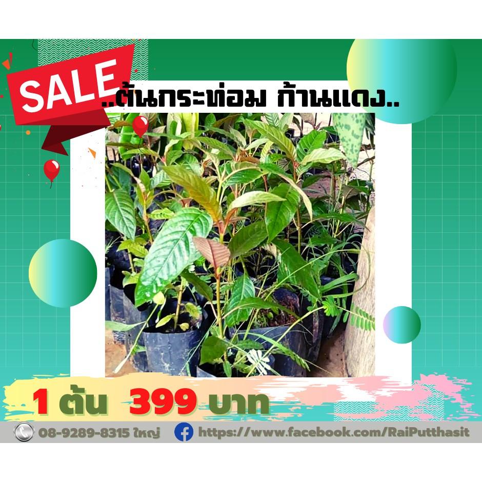 ต้นพันธุ์ กระท่อม ก้านแดง พืชกระท่อม พืชสมุนไพร ต้นกระท่อม ทนแดด ลดหวาน แก้ปวด ใบกระท่อม ความสูง 35-40 ซม. จำนวน 1 ต้น