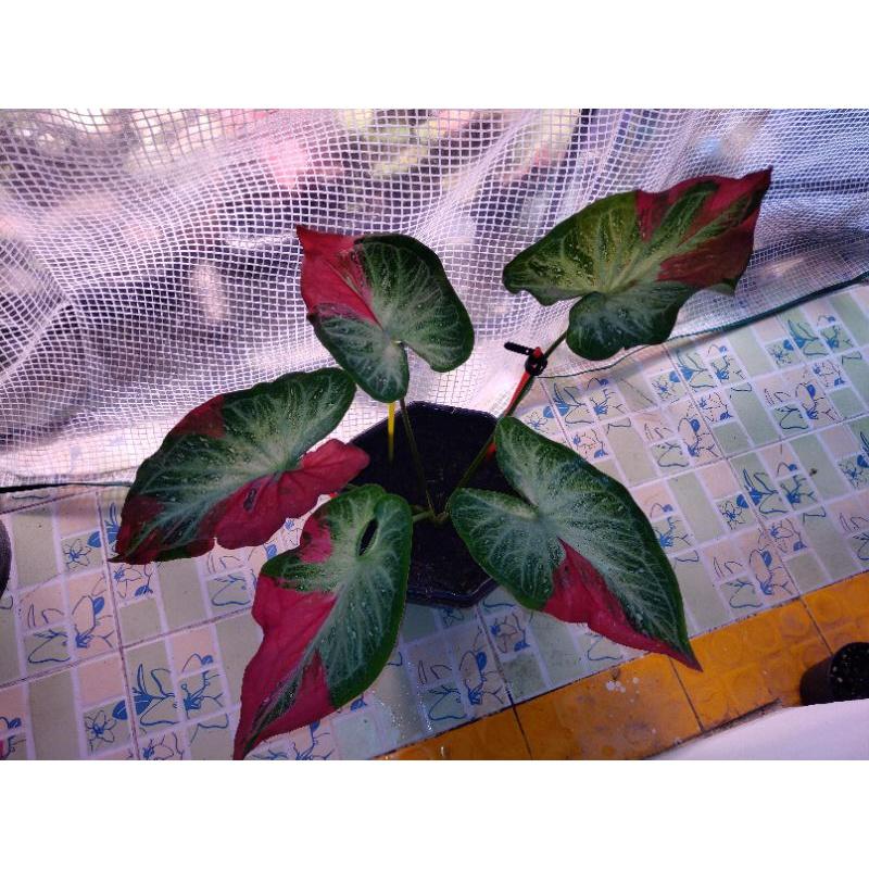 บอนสีชายชล (ต้นใหญ่มีหัว) ไม้ฟอกอากาศ ต้นไม้ บอนสี ชายชล