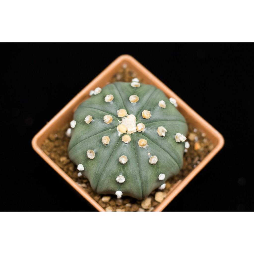 Astrophytum แอสโตรไฟตัม กระบองเพชร cactus