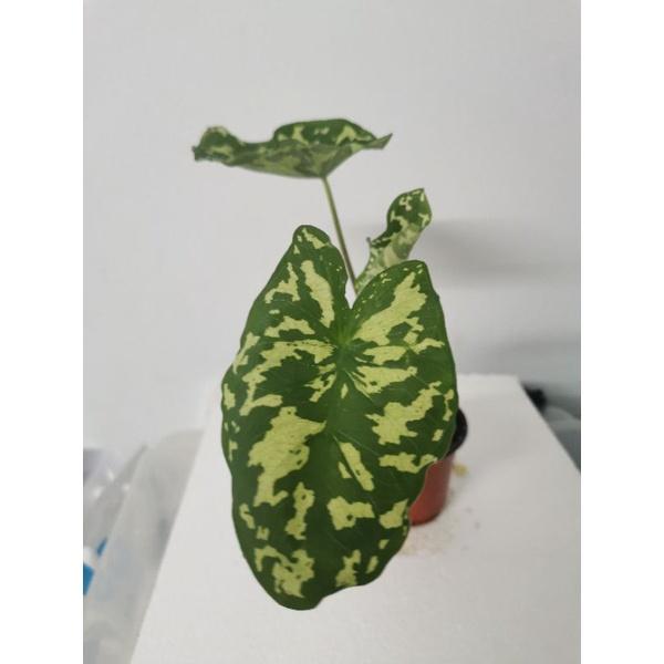 บอนเสือพราน Colocasia Hilo Beauty #บอนเสือพราน