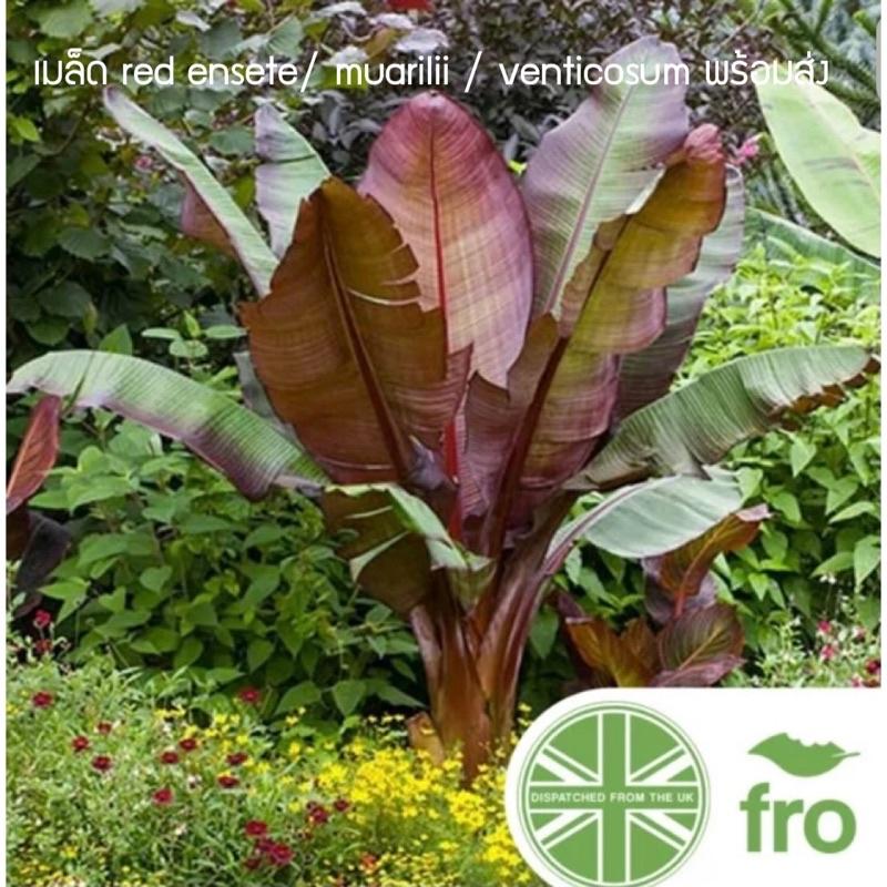 เมล็ดกล้วยแดงEnsete/musa/muarilii/ventricosum